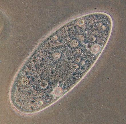 protozoare giardia spp)