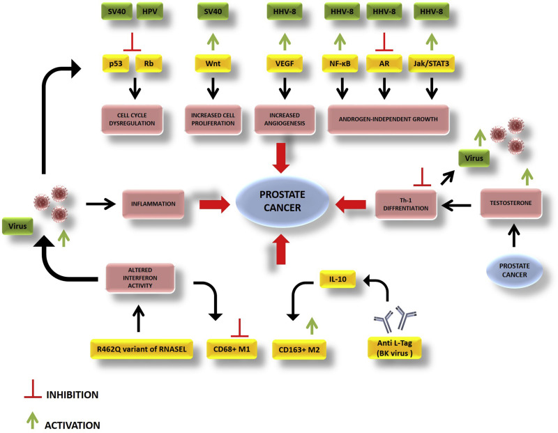 hpv virus and prostate cancer)