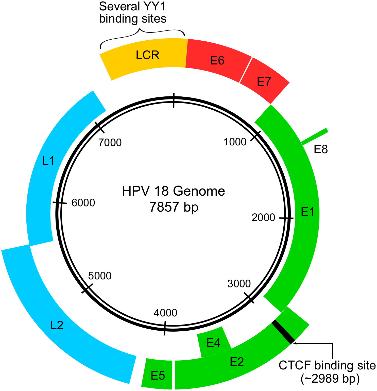 papillomavirus genome size)