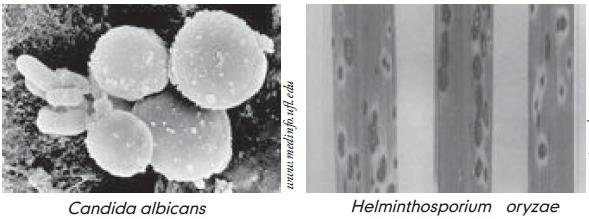 jamur helminthosporium oryzae)