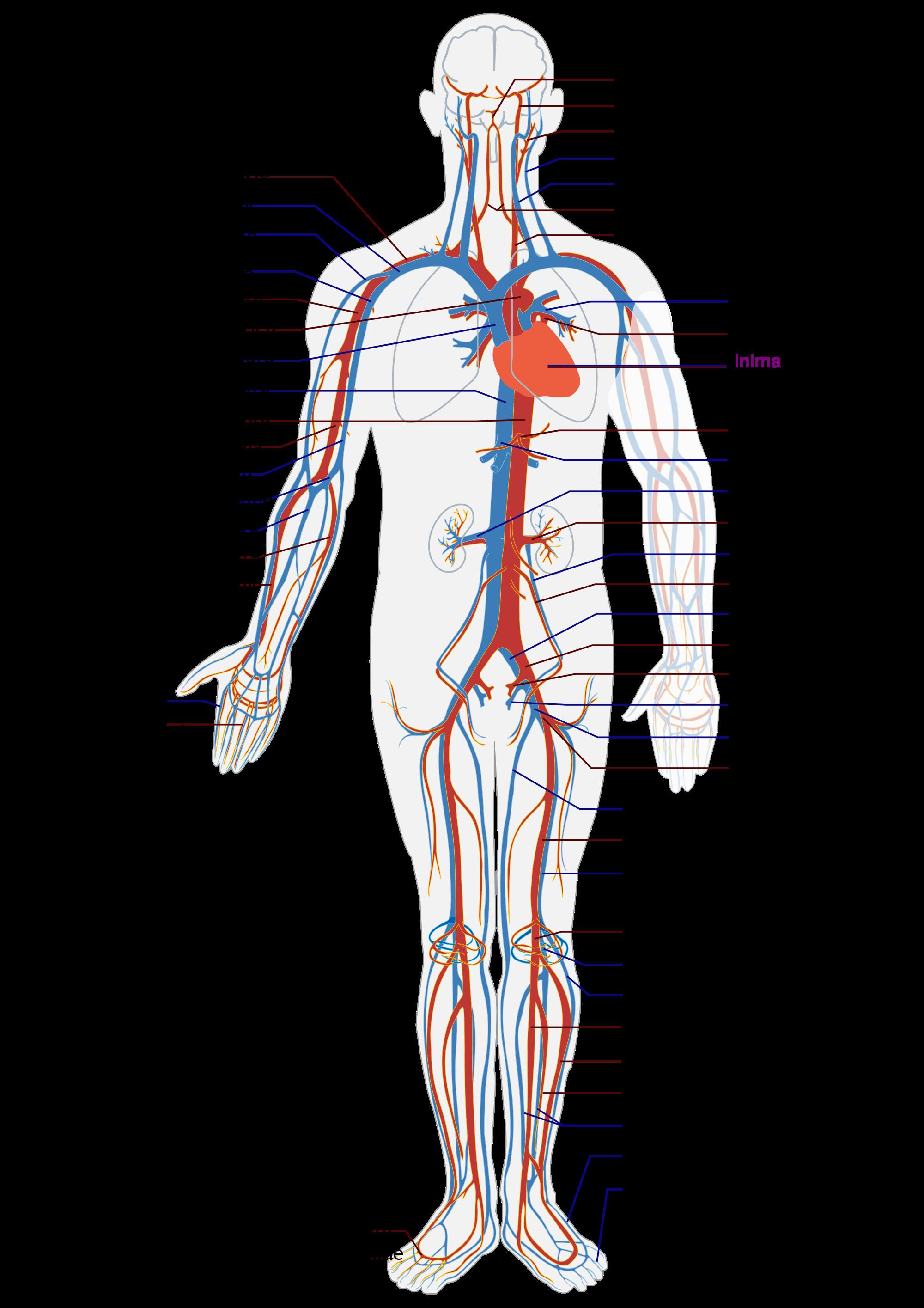 Sistem cardiovascular, Ciclul circulator în corpul uman