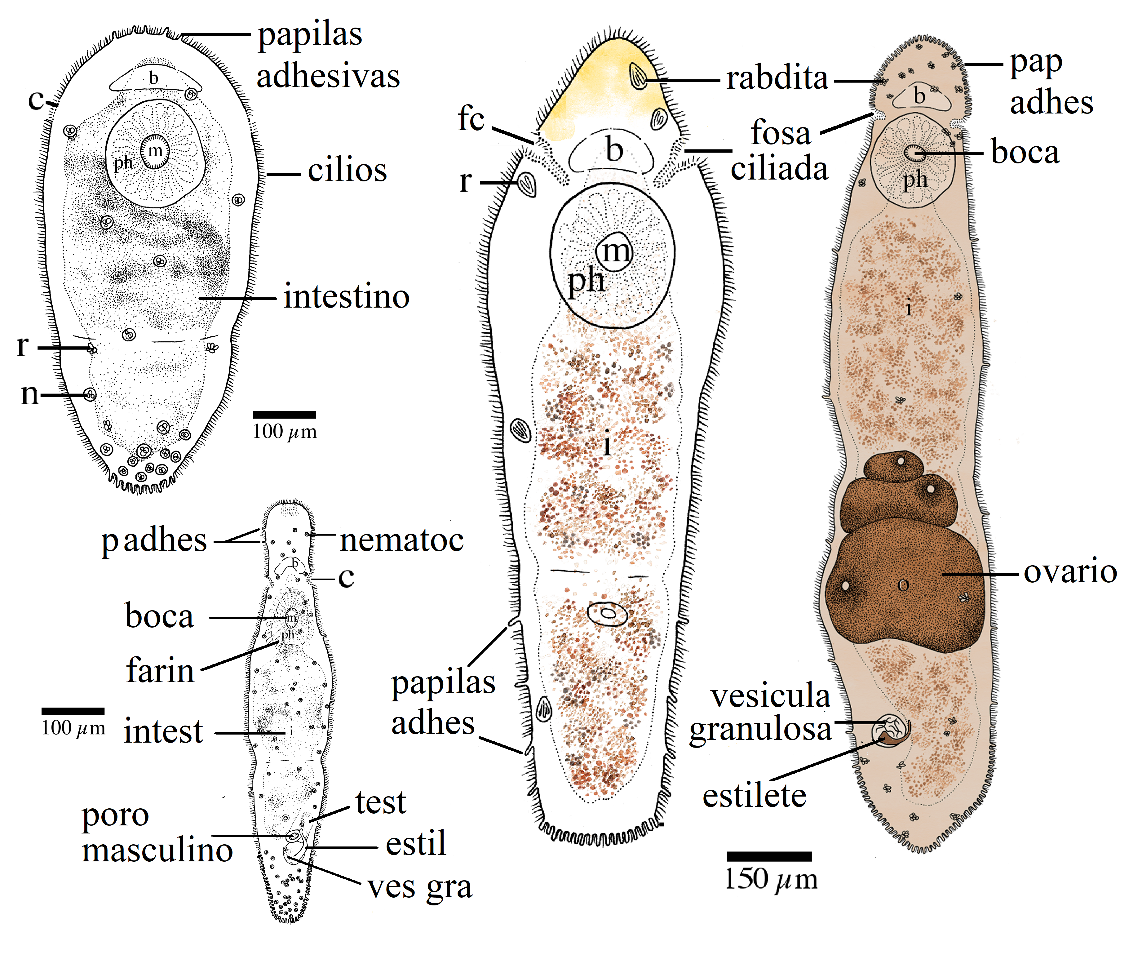 Platyhelminthes 4 clase.