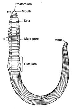 aschelminthes și nematode)