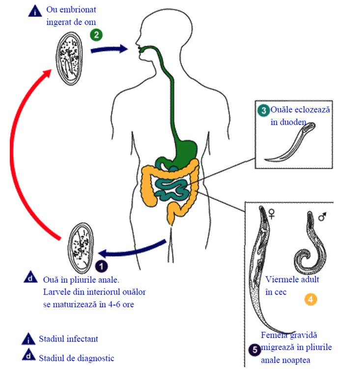 tratamentul viermilor gravide