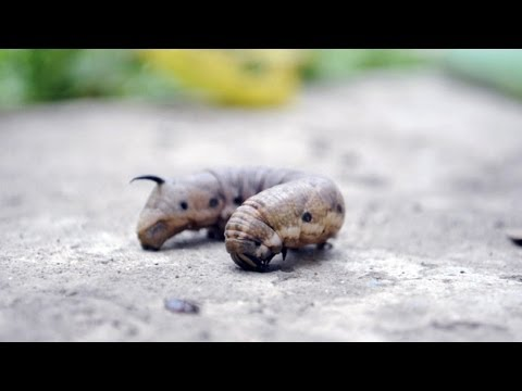 viermele este insecta)