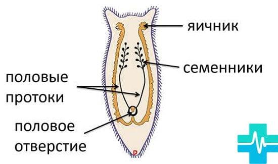 dimensiunea și forma viermei rotunde