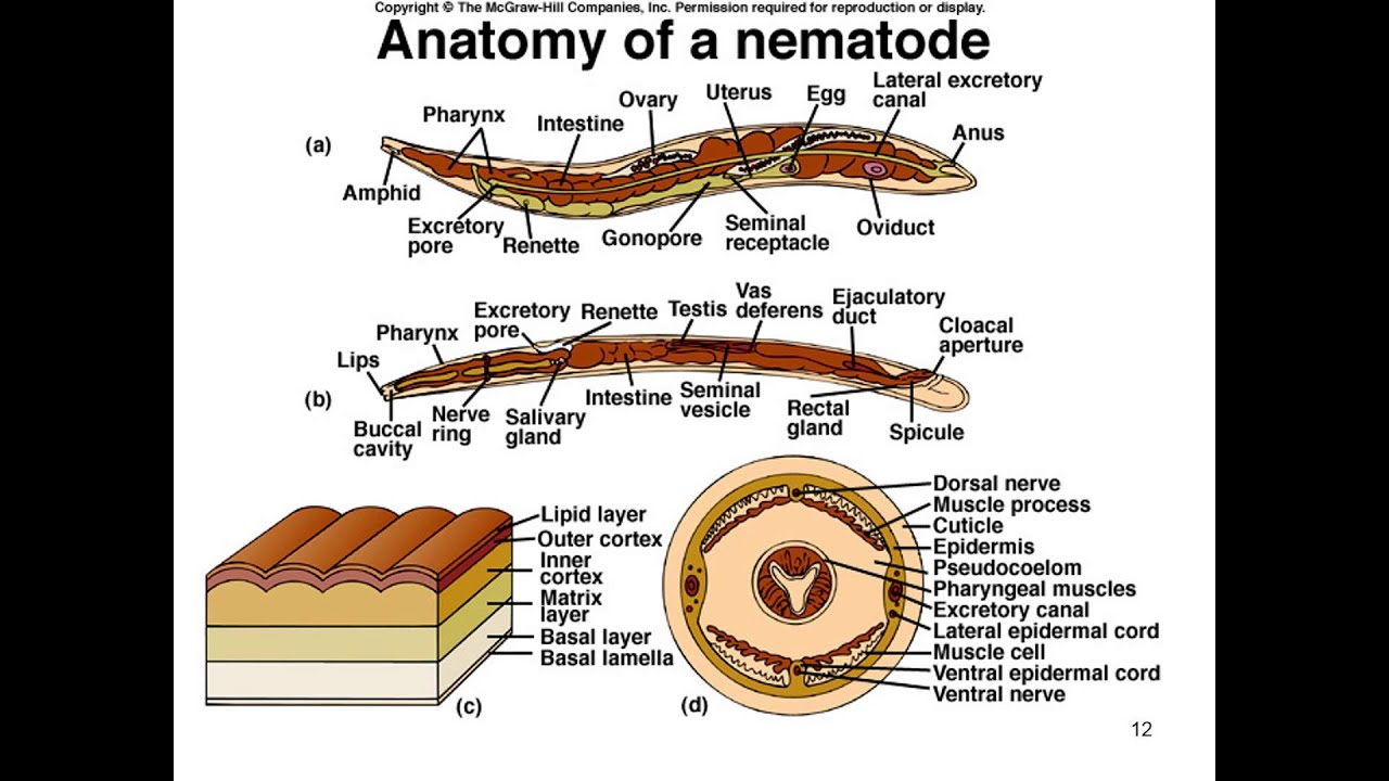 filum nemathelminthes mai multe nematode)