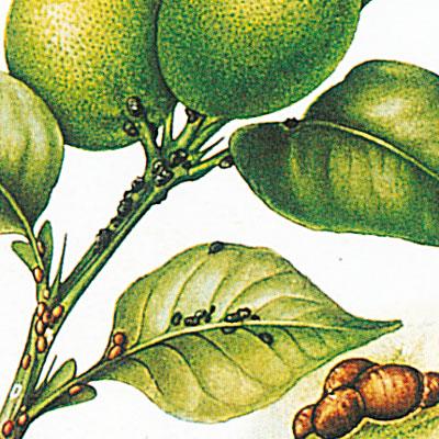 eliminare parassiti limone
