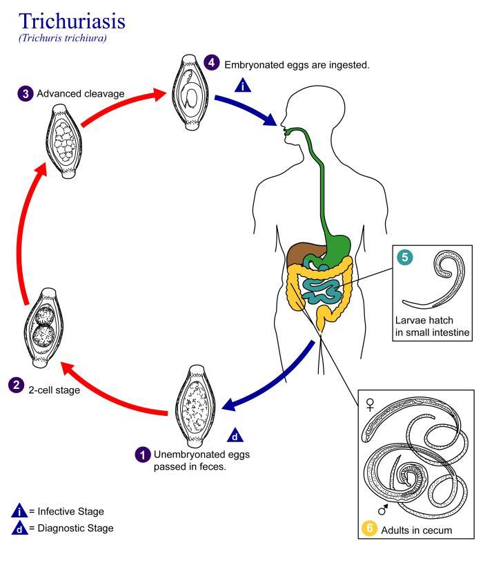 examinarea fecală a ouălor de vierme)