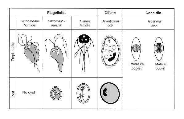 g duodenalis preparate pentru ac și vierme