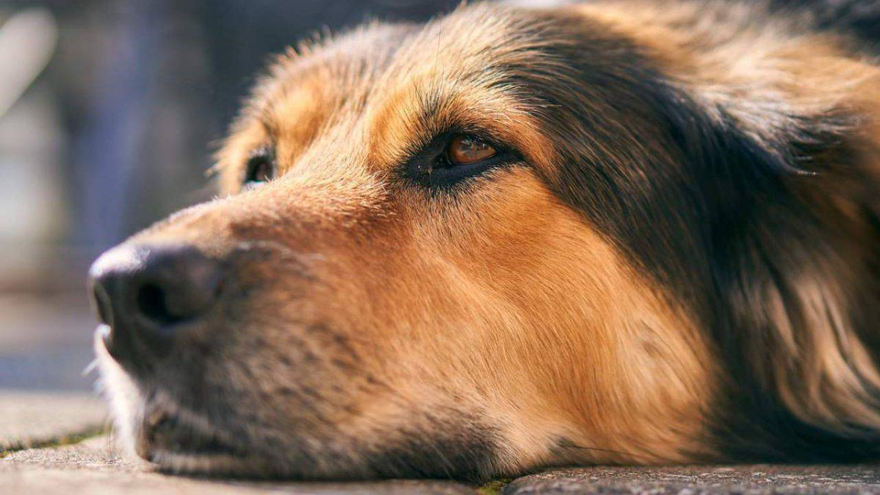giardia cane e contagiosa
