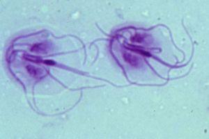vaccin papillomavirus fertilite dihorul giardia