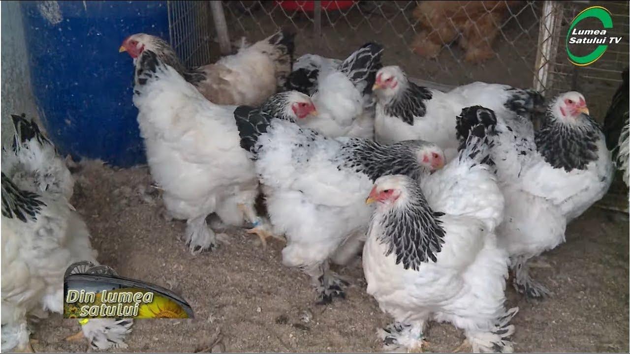 găină de vierme acasă)