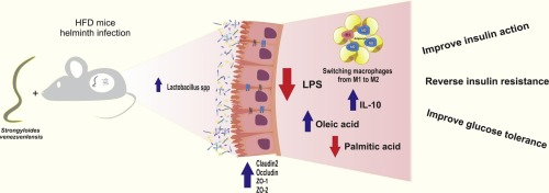 helminth infection and inflammation