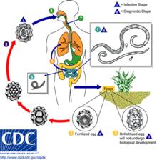Helminth infection signs and symptoms Paraziți lamblia helminths