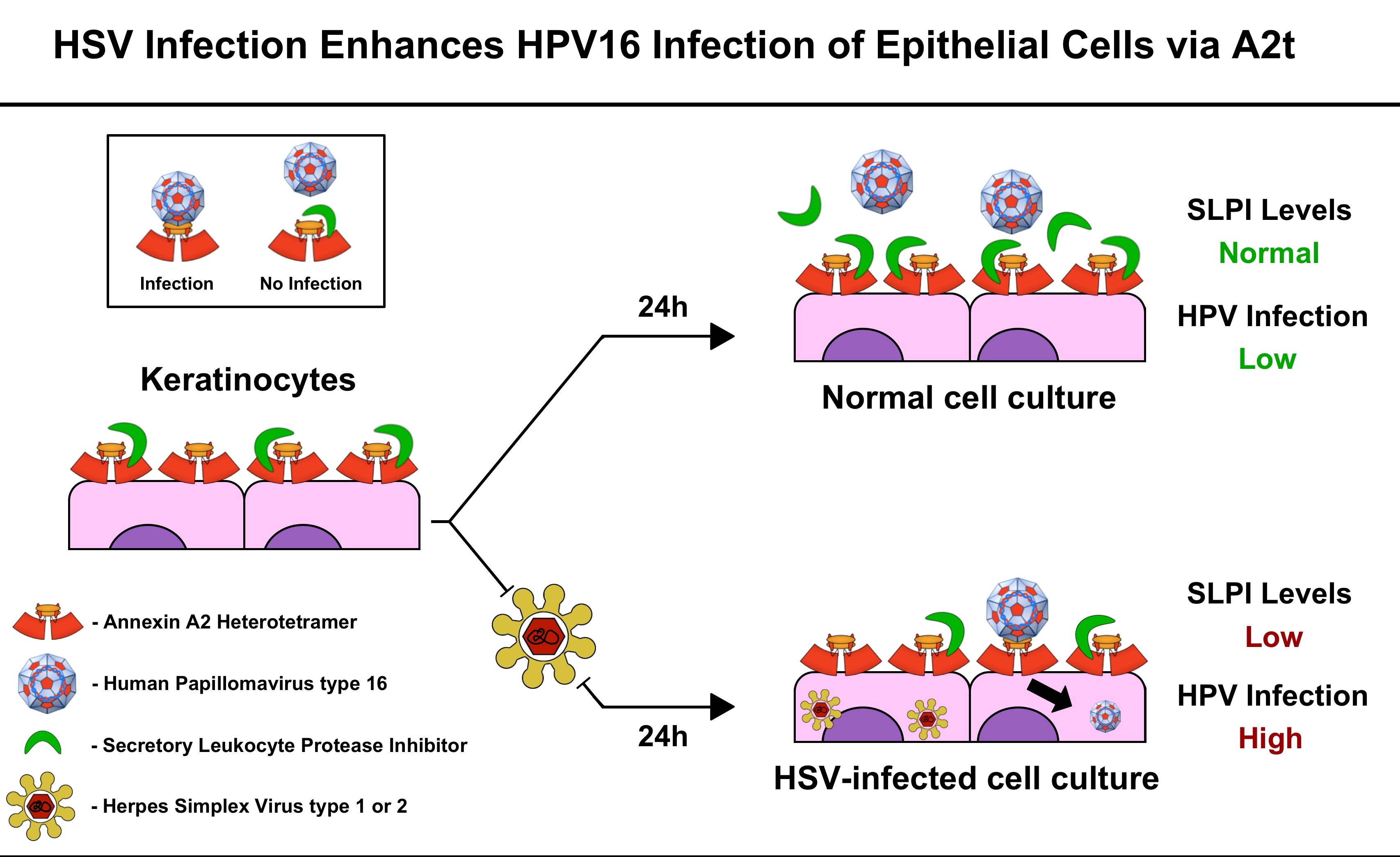 hpv and herpes simplex)