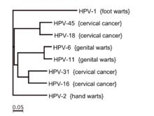 Human papilloma viruses associated with, Infectie genitala Human Papilloma Virus (HPV)