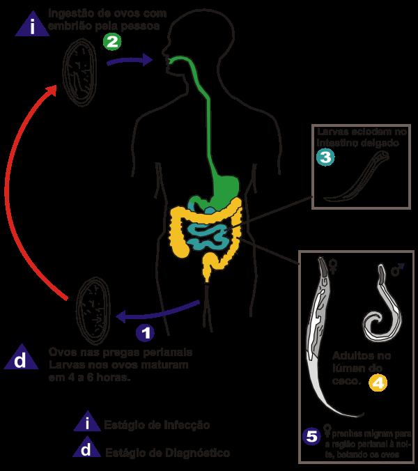 Oxiurose causa sintomas tratamento e prevencao - Oxiurose sintomas e prevencao