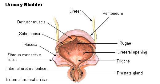 papilloma collo vescicale)