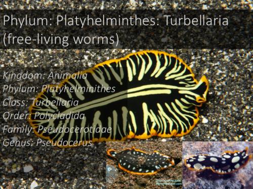 Platyhelminthes clasa trematoda. Încărcat de