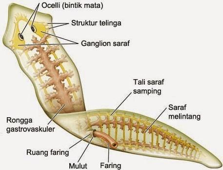 sistemul digestiv platyhelminthes